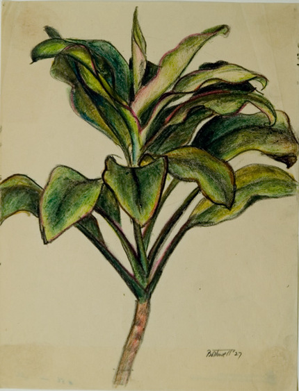 76c6a08d3fc5a Ti Plant by Dorr Bothwell (Samoa 1929). Drawing. Private collection.